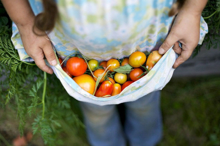an apron full of freshly picked tomatoes