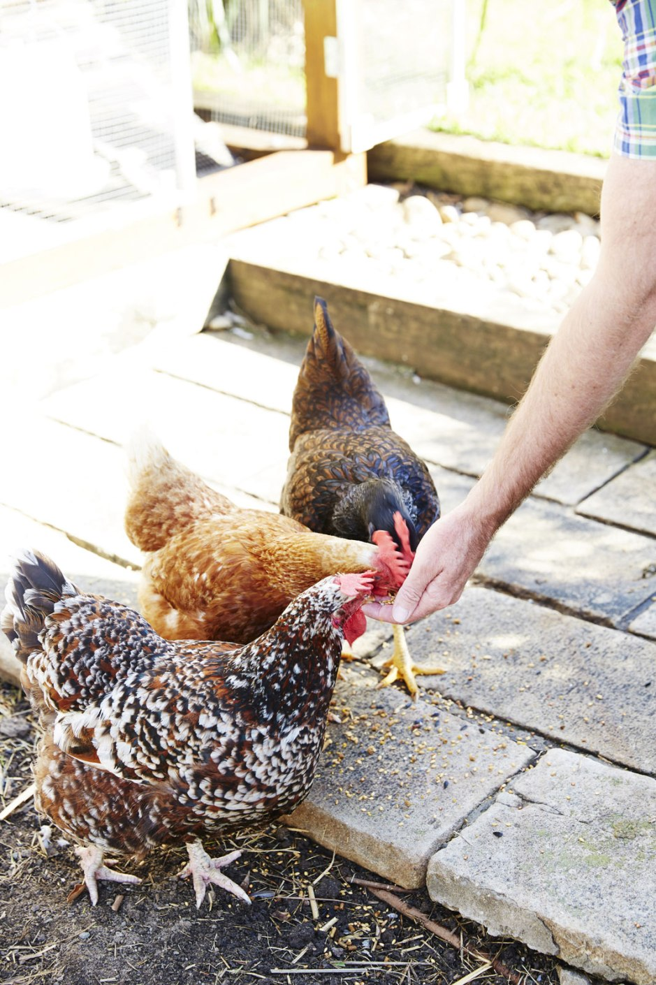 a guide to keeping backyard chickens u2013 child