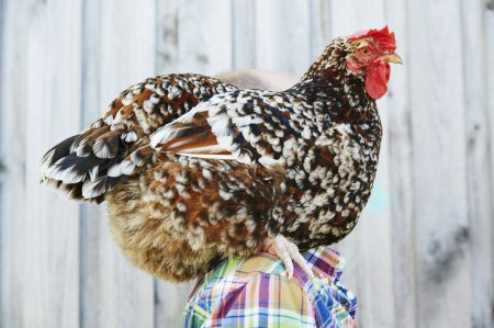 a guide to keeping backyard chickens on child mags blog